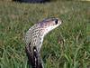 Indian Cobra, Naja naja<br /> Courtesy of Chuck Seifert
