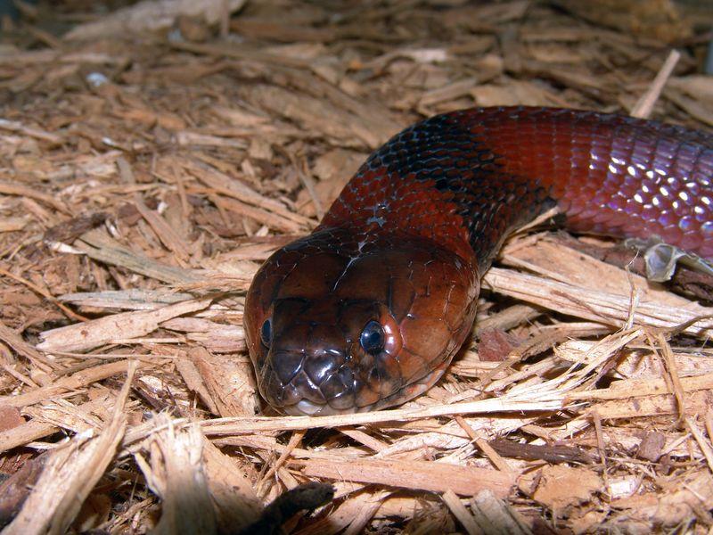 Red Spitting Cobra<br /> Naja pallida<br /> Courtesy of TE