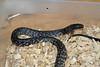 Water Cobra<br /> Naja sp yet un-named