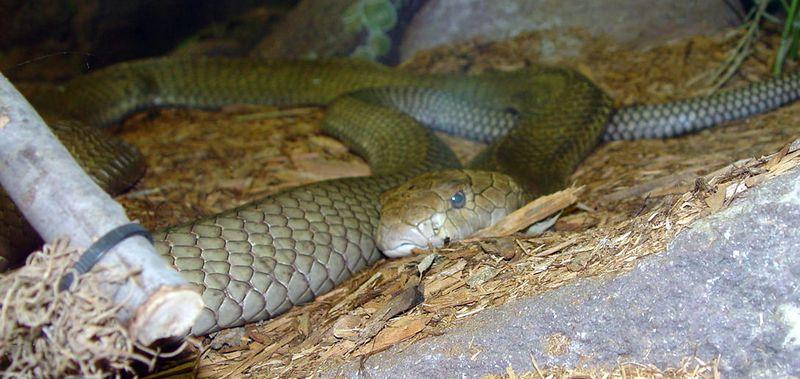 King Cobra<br /> Ophiophagus hanna<br /> Philadelphia Zoo
