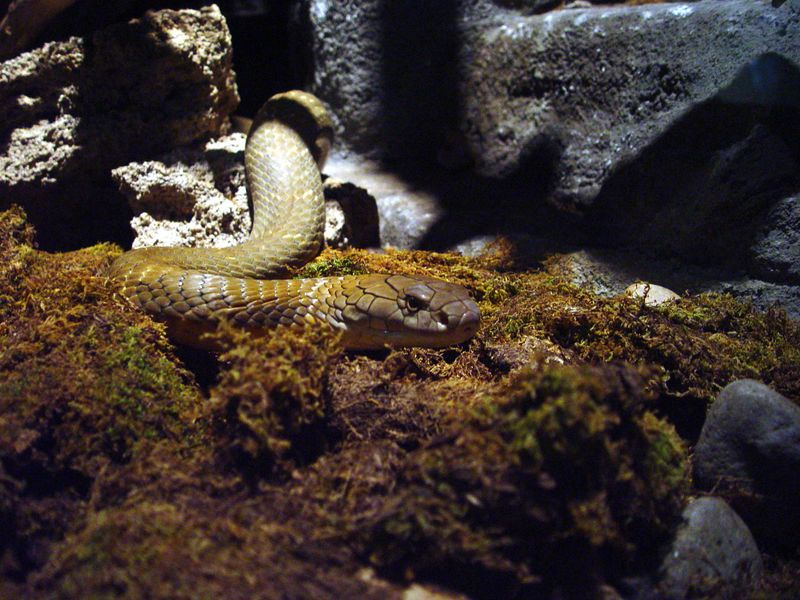 King Cobra<br /> Ophiophagus hanna<br /> Philadelphia Zoo