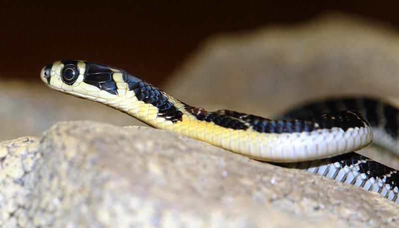 King Cobra, Captive hatched Dec. 06<br /> Ophiophagus hanna<br /> Courtesy of Eric Marquette