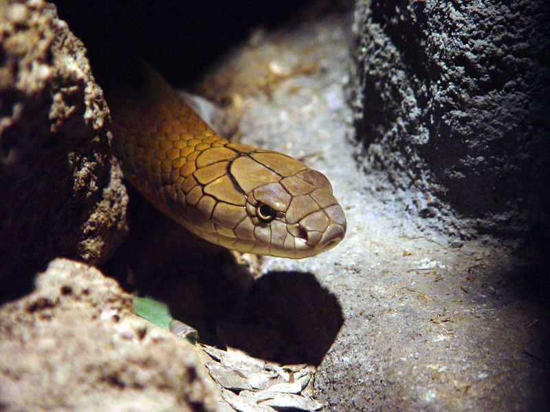 King Cobra<br /> Ophiophagus hanna<br /> Philadelphia Zoo<br /> <br /> My personal favorite KC shot, such intensity!