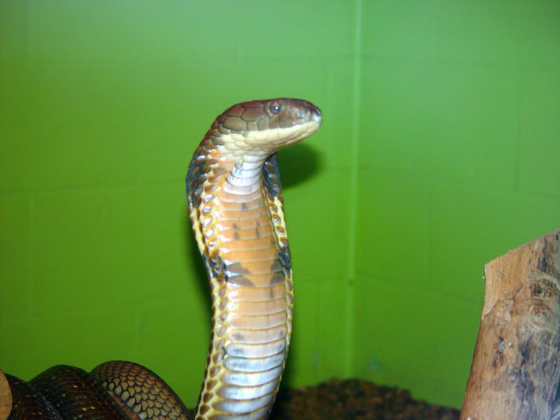 King Cobra<br /> Ophiophagus hanna<br /> Courtesy of George VanHorn