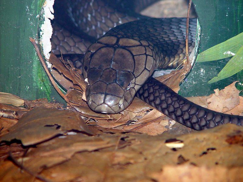 King Cobra<br /> Ophiophagus hanna<br /> Atlanta Zoo