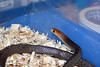 Eastern Brown Snake<br /> Pseudonaja textilis<br /> My Collection