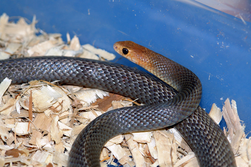 Eastern Brown Snake<br /> Pseudonaja textilis<br /> My Collection
