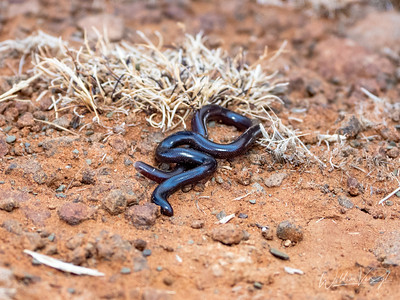 20211006 Flowerpot Snake (Indotyphlops braminus) from Kimberley, Northern Cape