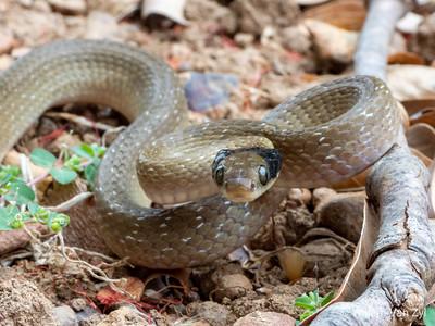 20200207 Herald Snake (Crotaphopeltis hotamboeia) from Durbanville, Western Cape