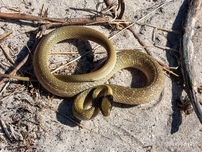 20200201 Herald Snake (Crotaphopeltis hotamboeia) from Durbanville, Western Cape