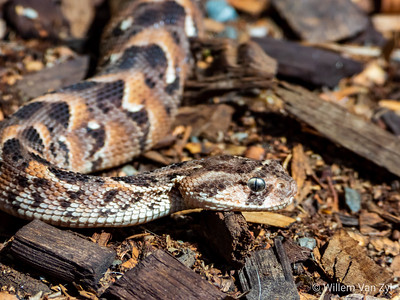 20200229 Tanzanian Puff Adder (Bitis arietans) from Private Collection