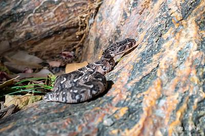 20201025 Juvenile Puff Adder (Bitis arietans) from Western Cape