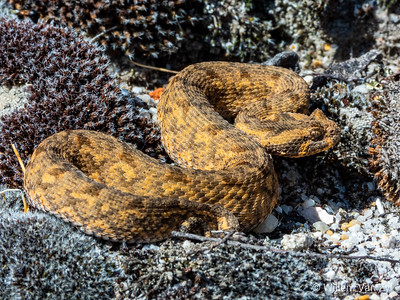 20200320 Red Adder (Bitis rubida) from Ceres, Western Cape