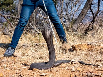 20190803 Rinkhals (Hemachatus haemachatus) from Gauteng