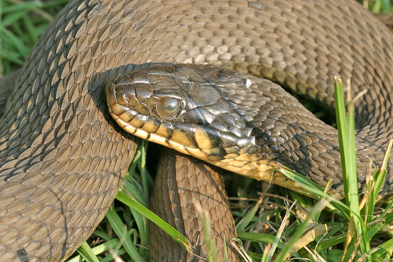 """Taken with my Sigma 150 f/2.8 Macro Lens. """"Rat Snake""""  Closer view of Head."""