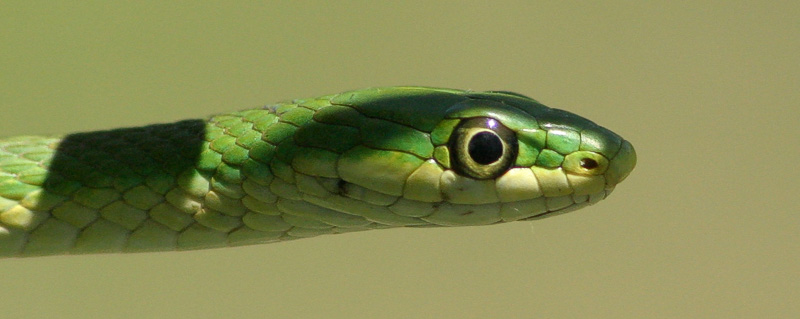 """Taken with my Cheap Sigma 70-300DL Lens """"Green Grass Snake"""" Aaw ain't I cute? Rocky won't hurt me."""