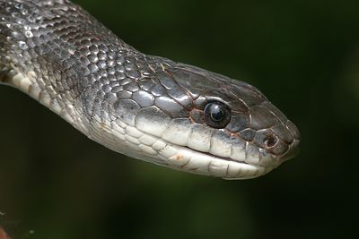 "Taken with my Sigma 150 f/2.8 Macro Lens. ""Chicken Snake"""