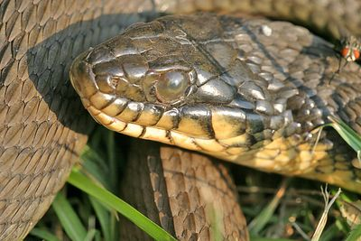 "Taken with my Sigma 150 f/2.8 Macro Lens. ""Rat Snake""  Real, real close view. Haha!"