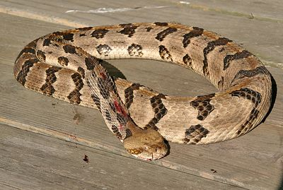 Taken with my Tamron 28-75 f/2.8 Lens. Rattlesnake on my Picnic Table. HA!