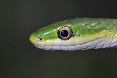 "Taken with my Sigma 150 f/2.8 Macr Lens+1.4x TC+550EX Flash. ""Green Grass Snake"""