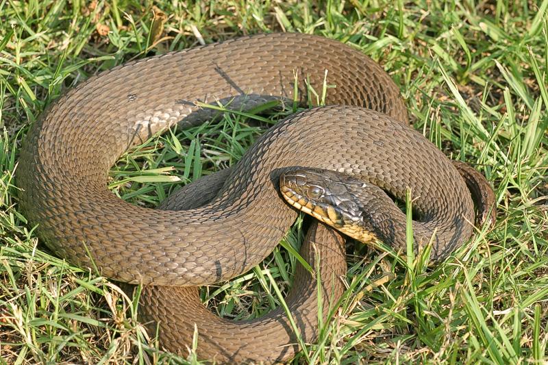 """Taken with my Sigma 150 f/2.8 Macro Lens. """"Rat Snake"""""""