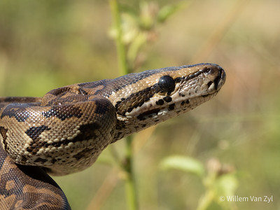 20190406 Southern African Python (Python natalensis) from Thabazimbi, Limpopo