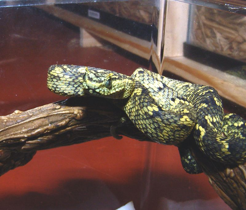 Horned Bush Viper, Atheris ceratophora