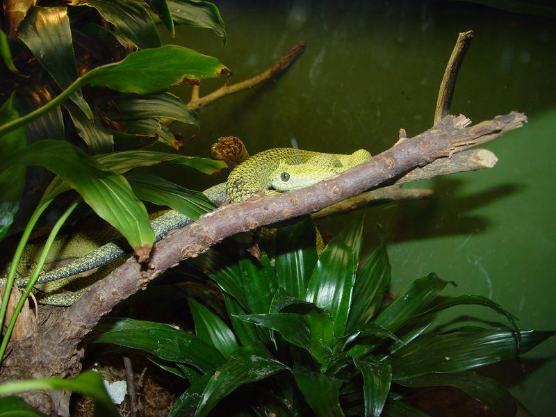 Horned Bush Viper, Atheris ceratophora
