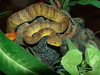 Variable Bush Viper, Atheri<br /> s squamiger