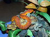 Variable Bush Viper, Atheris squamiger