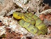 Variable Bush Viper, Atheris squamiger