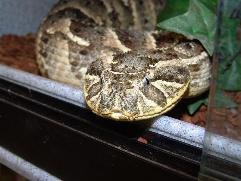 Bitis arietans<br /> Puff Adder<br /> CB 03 My Collection<br /> <br /> As a sinister look as it comes.  She is just waiting for me to make a mistake.