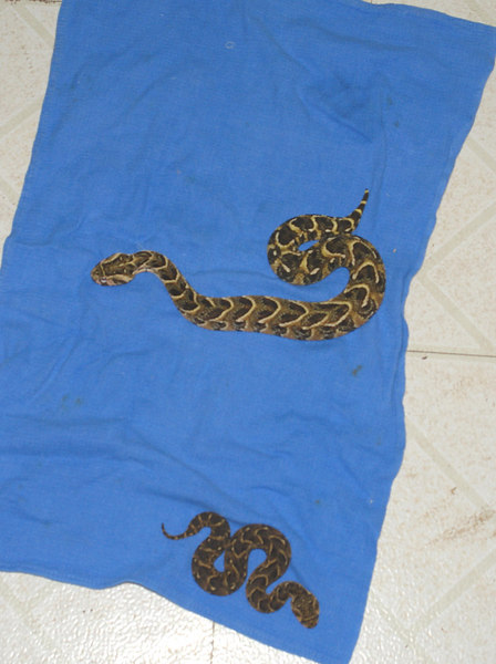 Cape Puff Adders<br /> Bitis arietans<br /> Brother & Sister<br /> My Collection