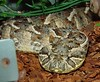 Bitis arietans<br /> Puff Adder<br /> CB 03 My Collection
