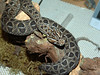 Berg's Adder<br /> Bitis atropos<br /> My Collection