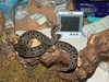 Bitis atropos<br /> Berg's Adder<br /> My Collection