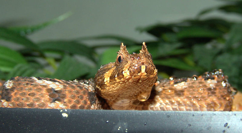 Many Horned Adder<br /> Bitis cornuta<br /> CB 05 My Collection