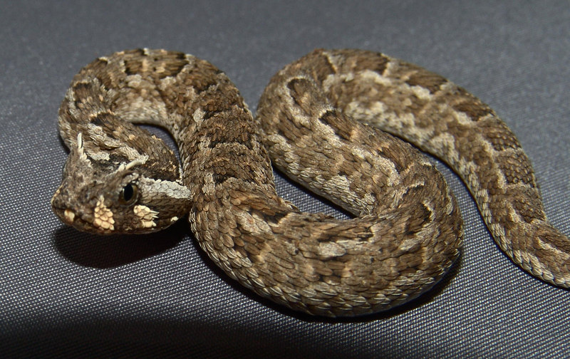 Many Horned Adder<br /> Bitis cornuta<br /> CB 06 My Collection