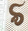 Many Horned Adder<br /> Bitis cornuta<br /> CB 05 My Collection