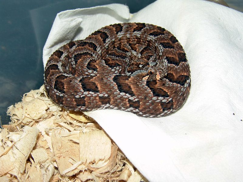 Many Horned Adder<br /> Bitis cornuta<br /> My Collection