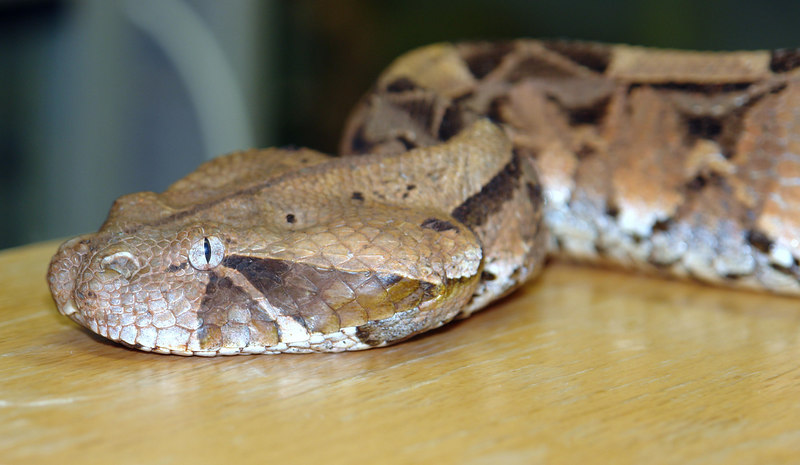 East African Gaboon Viper<br /> Bitis gabonica<br /> My Collection