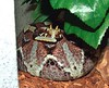 Rhino Viper, River Jack<br /> Bitis nasicornis<br /> CB 03 My Collection