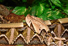 West African Gaboon Viper<br /> Bitis rhinoceros<br /> My Collection