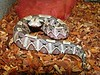 West African Gaboon Viper<br /> Bitis rhinoceros<br /> CB 03 My Collection