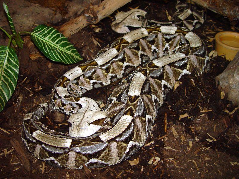 West African Gaboon Viper<br /> Bitis rhinoceros<br /> Clyde Peeling's Reptile Land