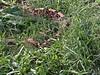West African Gaboon Viper<br /> Bitis Rhinoceros<br /> CB 03 My Collection