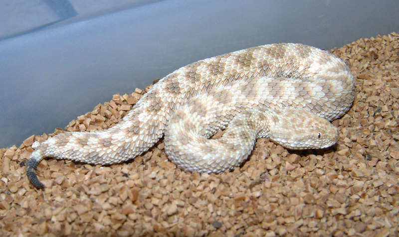 Cerastes vipera, Cute little Sand vipers already eating f/t fuzzies off my forceps. 2.3 available $80/pr  Can be shipped or held with deposit and delivered  to Hamburg in October.