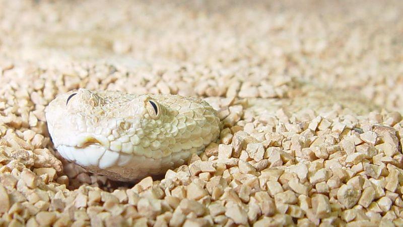 Sahara Sand Viper, Cerastes vipera