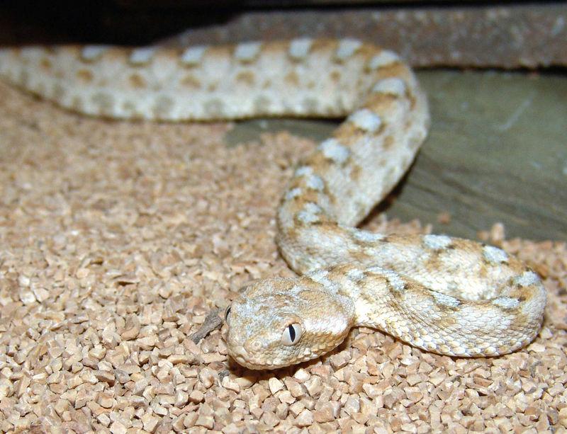 Israeli Sawscale Viper, Echis coloratus