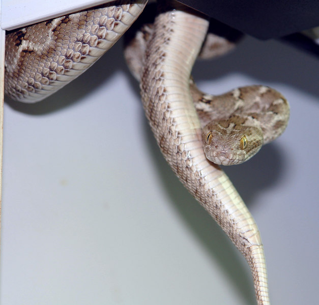 Transcaspian Sawscale Viper<br /> Echis multisquamatus<br /> My Collection